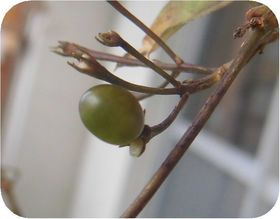 160130jasmin-seed.jpg
