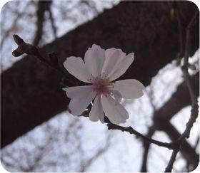 160319-jyuugatusakura.jpg