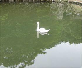 160529hikonejyouohori-swan2.jpg