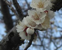 180226umemakinogaikeyoko3.jpg