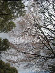200320sanpoyukisakura.jpg